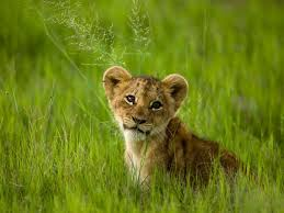 big cat cub pictures national geographic