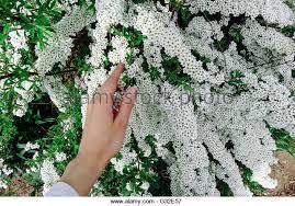 many tiny white flowers stock photos many tiny white flowers