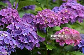 purple hydrangea hydrangea stock photos and pictures getty images