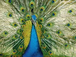 peacock home wallpapers high definition wallpaper