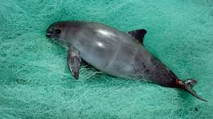 world u0027s most endangered marine mammal down to 30 individuals