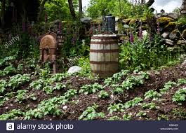 vintage farming vegetable garden with an old wine barrel at the