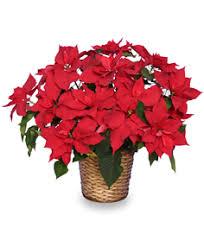 december flower spotlight poinsettia