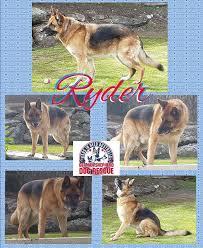 south australian german shepherd breeders gsds german shepherd dogs in need australia home facebook