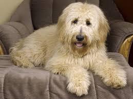 australian shepherd or golden retriever goldendoodle a golden retriever poodle mix spockthedog com