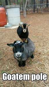 Funny Goat Memes - funny pygmy goat pictures google search pygmy goats