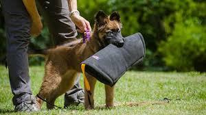 belgian shepherd sydney puppy development schedule k9protraining