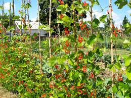 the sharing gardens grow your own protein scarlet runner beans