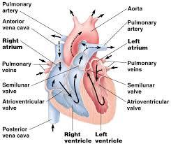 42 1 the circulatory system