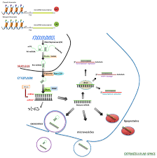 cancers free full text the role of mirnas in angiogenesis