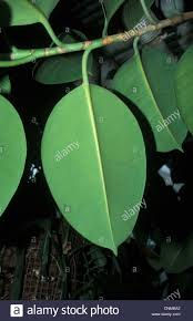 indian rubber fig ficus elastica leaf stock photo royalty free