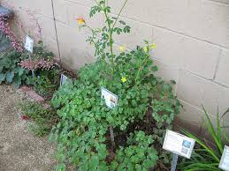 columbine plant nature s backyard a water wise garden plant of the month