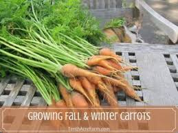 Green Root Vegetables - how to grow harvest and eat root vegetables tenth acre farm