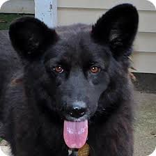 belgian sheepdog rescue adoption berkley hold adopted dog west milford nj border collie