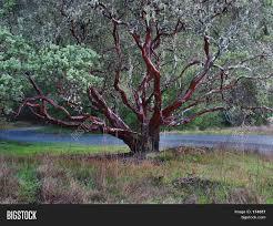 manzanita tree manzanita tree image photo bigstock