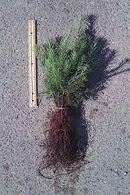 index of trees seedlings evergreen seedlings