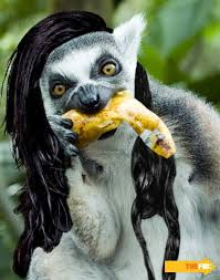 Lemur Meme - 34 best lemurs freaking rock images on pinterest lemur lemurs and