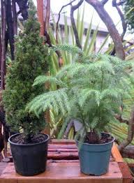 mini trees for indoors and out the mini garden guru
