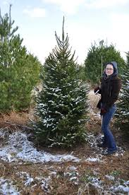 finding the perfect christmas tree u2013 the naturally curious