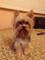 male yorkie haircuts best 25 ideas about female yorkie haircuts find what you ll love