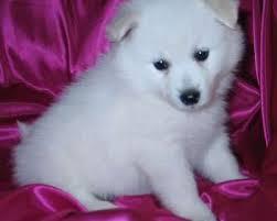 american eskimo dog new mexico american eskimo puppies for sale