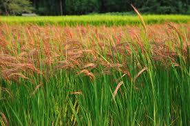 native plants of japan biodiversity dips when japanese rice paddies go fallow u2013 awkward