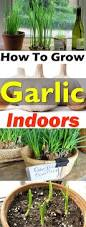 When To Plant Spring Vegetable Garden by How To Grow An Endless Supply Of Garlic Indoors Garlic Plants