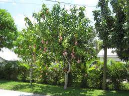 growing mango trees in your yard wearefound home design