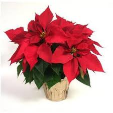 is home depot selling poinsettias on black friday lowes black friday 1 quart poinsettia item 93440