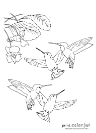 hummingbirds print color fun free printables coloring pages