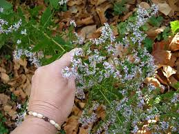 indiana native plants blue wood asters u2014 late blooming wildflowers friesner herbarium