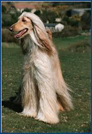 banana joe affenpinscher pedigree 29 best afgan dog images on pinterest afghans animals and hound dog