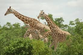 how to keep your giraffe warm popular science