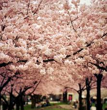 the most beautiful cherry blossoms around the world bored panda