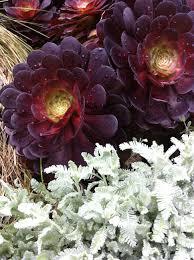 13 succulents that are native plants wyndbourne park