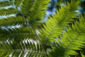 Free Picture Leaf Nature Fern Free Picture Branch Leaf Nature Flora Summer Fern Tree Plant