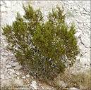 Read more about the <b>Creosote</b>