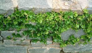parthenocissus tricuspidata u0027lowii u0027 boston ivy plants