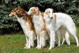 10 elegant facts about the borzoi mental floss