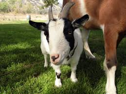 where to get your goat yoga on kcet