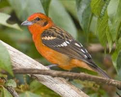 flame colored tanager audubon field guide