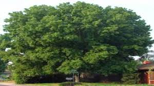 silver maple trees for sale 3 25 at tn tree nursery