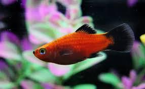 freshwater fish freshwater fish breeds