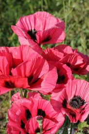 509 best magones images on poppy flowers beautiful