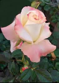 imagenes lindas naturaleza pin de gayle schmidt samuels en rose gardens pinterest rosas