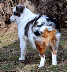 1 year old australian shepherd for sale change u0027s blue merle male 1 color country aussies