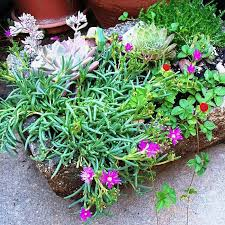 mountain gardening perfect mountain region plant combos