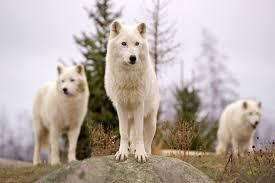 12 important animals of north america