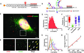 translation dynamics of single mrnas in live cells and neurons