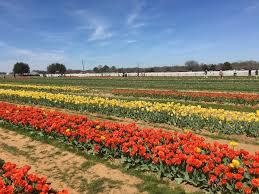 lexus texas dallas spring fun with pick your own tulips in texas dallas single mom